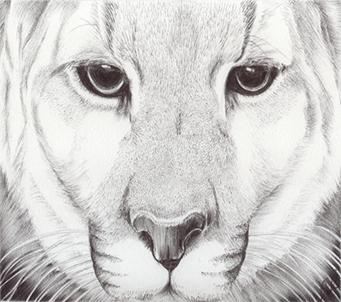 Animal Kingdom Mountain Lion 1