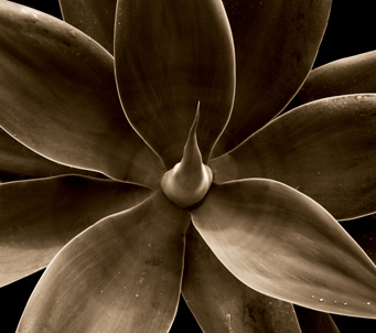 Black and White Succulent Plant