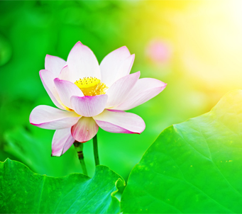 Lotus Flower in the sunrise