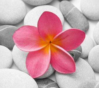 Pink Frangipani on Pebbles