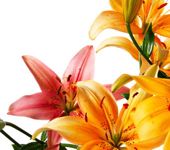 Pink and Orange Lillies