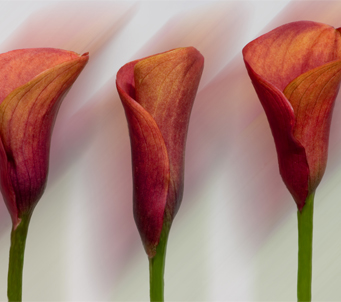 Three Red Calla Lillies