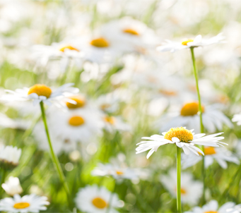 White Chamomile Field
