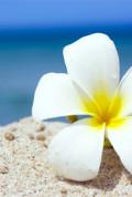 White Frangipani on the Beach