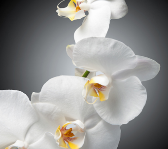 White Orchidon black background